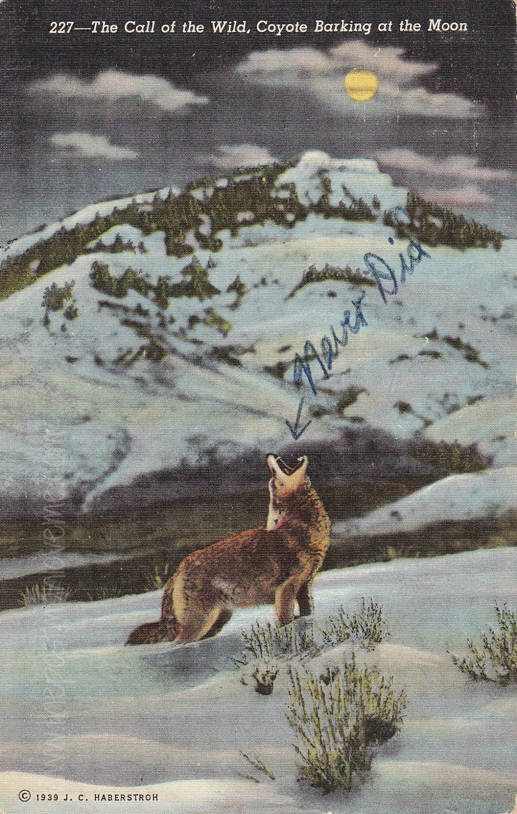Call of the Wild - Coyote Barking at the Moon Vintage Postcard 8-1-1949