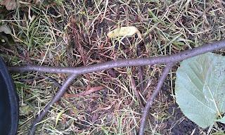 Lime Tree - Tilia Ruskin Park