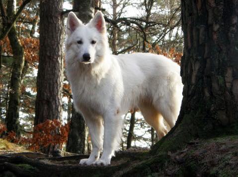 Fösta vita herdehunden med titel lydnadschampion 2009