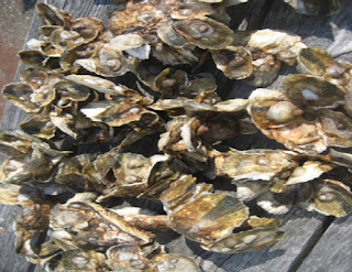 Oyster restoration spat on shell