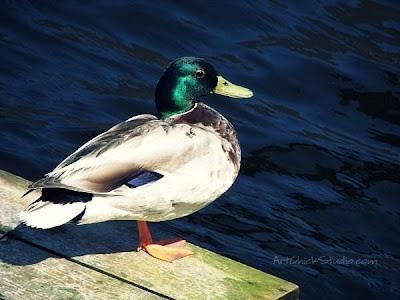 Marblehead Quacker Photograph