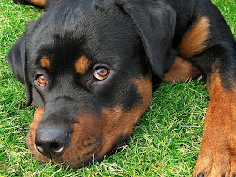 Get a Rottweiler Puppy today