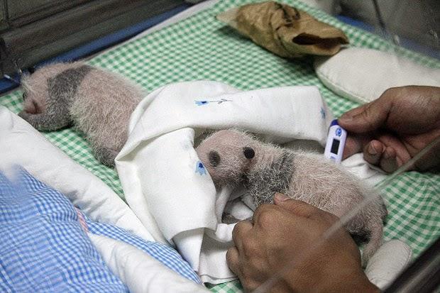 CALABRIA:NATI DUE GEMELLI DI PANDA GIGANTE.EUFORIA NELLA CITTA DI PIZZOBURGO
