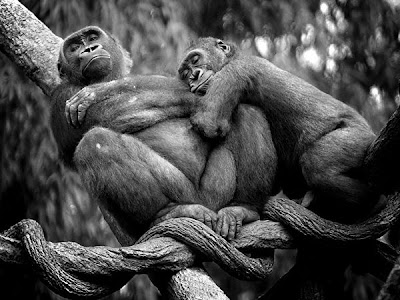 lowland gorillas love animals pictures
