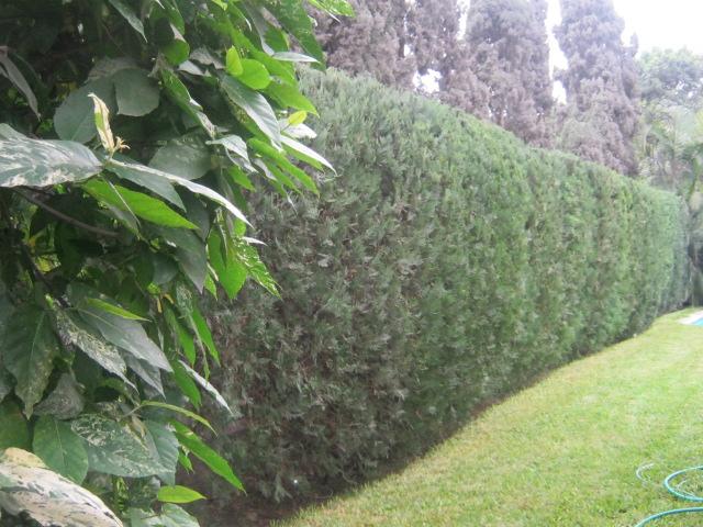 Jardiner a mundo verde - Arbustos para vallas ...