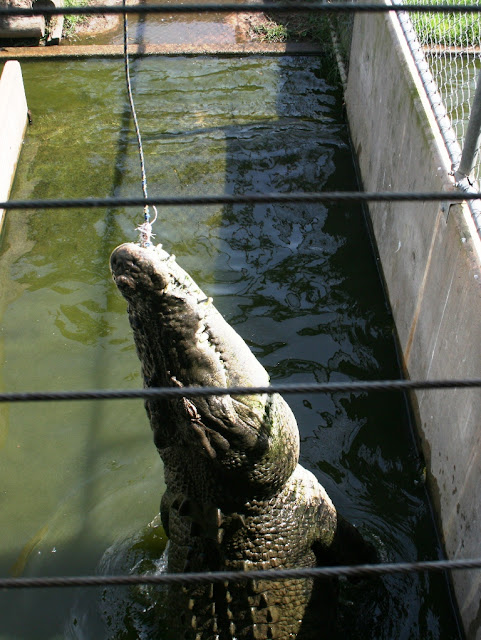 Giant saltwater crocodile