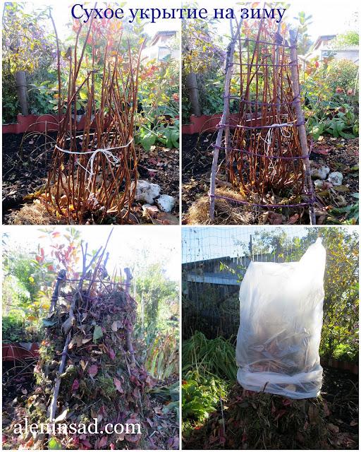 сухое укрытие гортензии на зиму, укрытие, макрофила, аленин сад