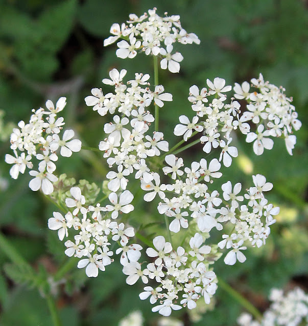 Cow parsley flowers, Anthriscus sylvestris, in High Elms Country Park on Easter Monday, 25th April 2011. This umbel is inhabited by some small orange insects.