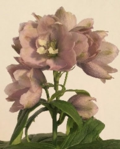 Delphinium Magic Fountain. Cherry Blossom 2ltr