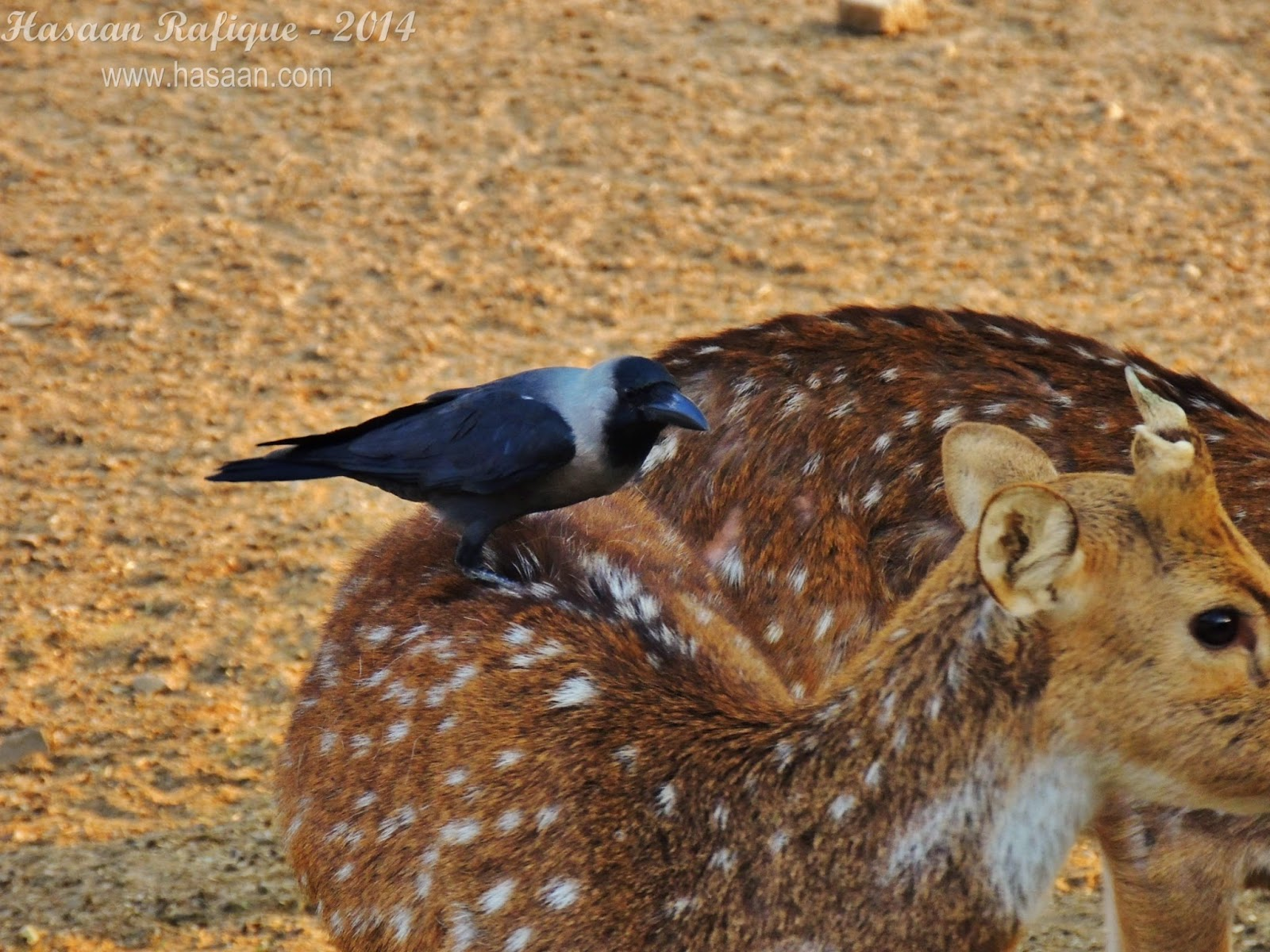 A crow sits perched on a spotted deer.