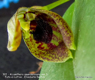 Pleurothallis saundersiana, microorquidea