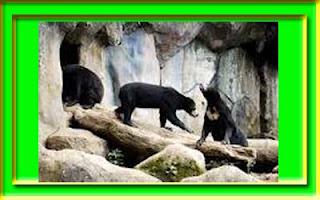 gambar_beruang_madu_lucu