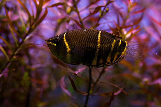 Photo of Chocolate Gourami Sphaerichthys osphromenoides