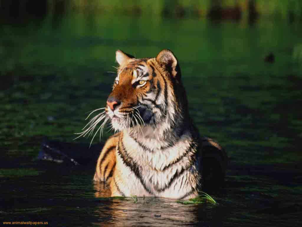 Bengal Tiger Images Hd