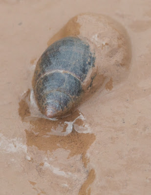Mud Dog Whelk (Nassarius obsoletus)