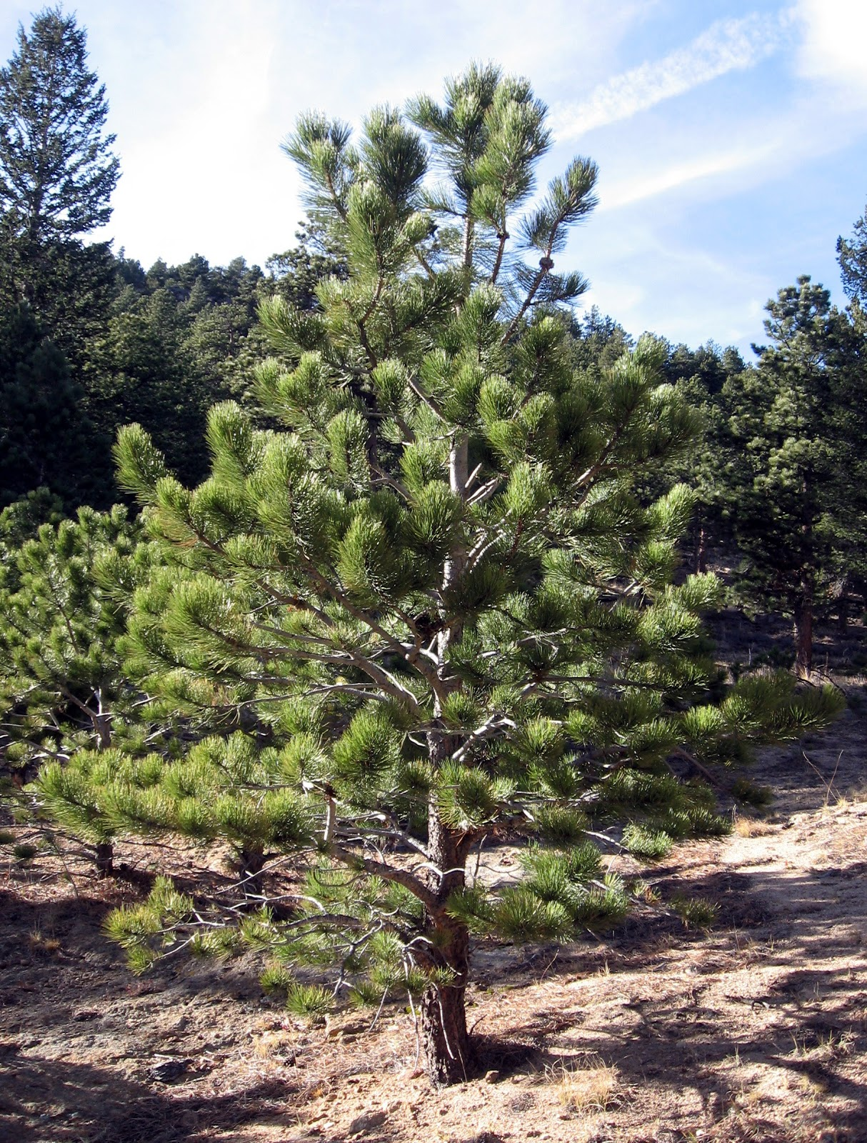 Rocky mountain bushcraft rocky mountain tree for Mature pine trees