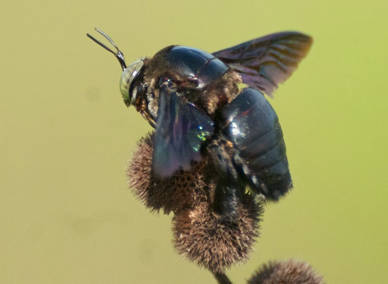Giant Capenter Bee (Xylocopa latipes)