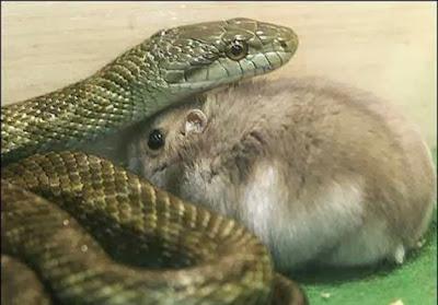 ular-dan-hamster-001-destriyana.jpg (476×332)