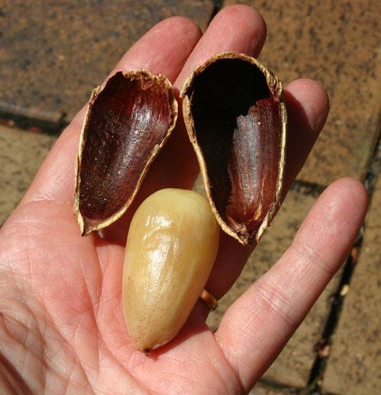 Image result for bunya nuts