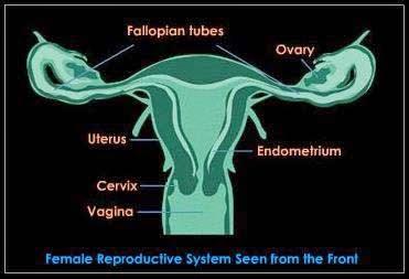 Fisiologi Alat Reproduksi Wanita