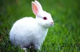 trend gigi kelinci