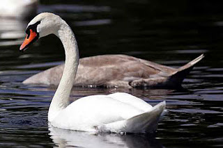 'Killer' Swan Attacks Caretaker