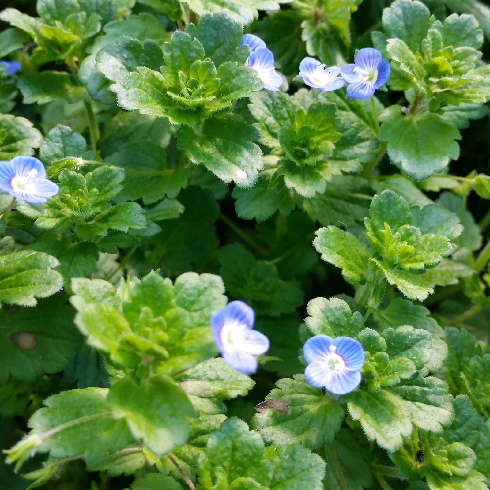 Soil beneath my fingers edible weeds plant identification i have always seen speedwell as a harmless weed and good ground cover i now realise until now it can be a nourishing eat and have medicinal qualities izmirmasajfo