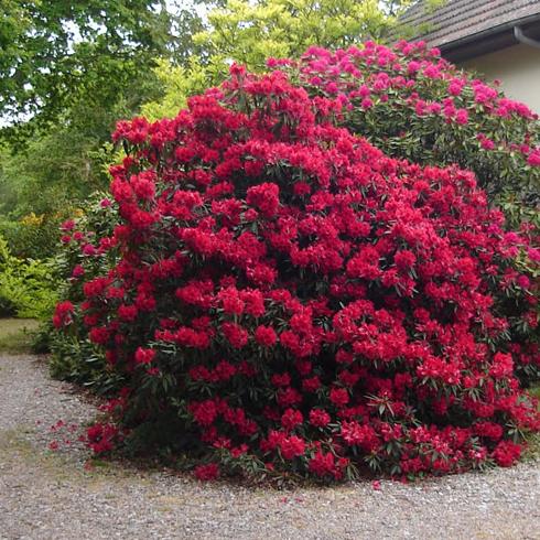Arbuste azal e flore de l le de la r union Entretien jardin ile de la reunion