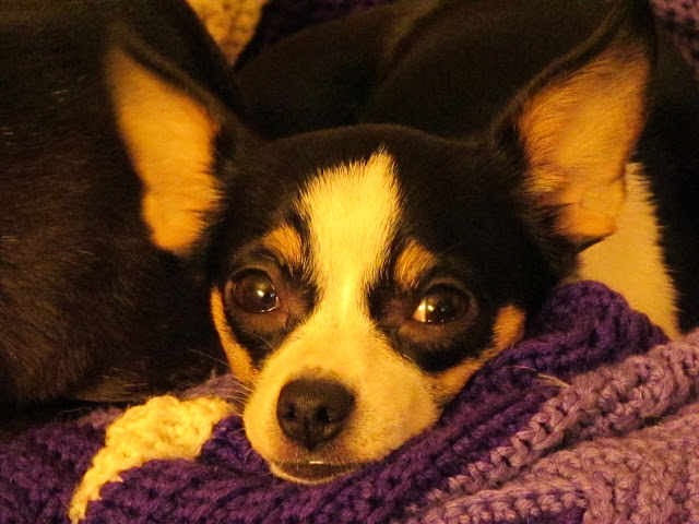 My Chihuahua, Zoey