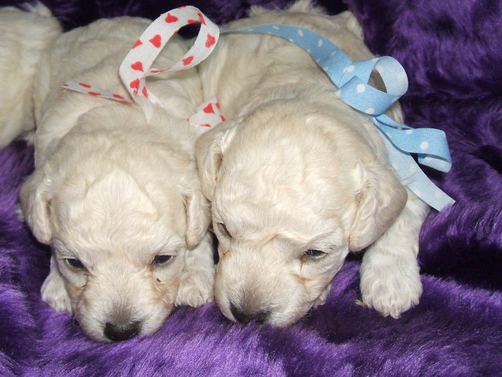 Blog de Perros Miniaturas Cachorros de CanichesPoodle
