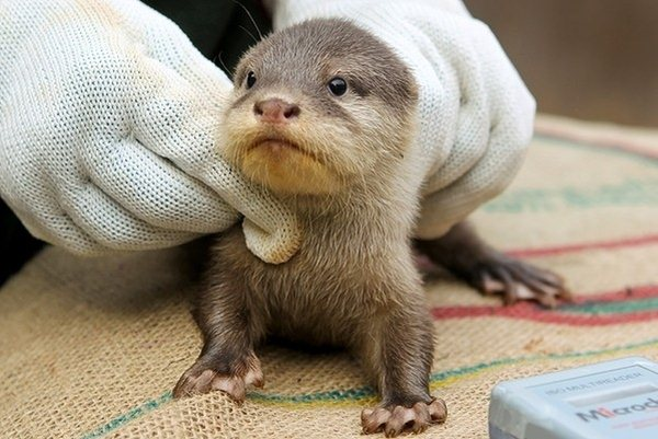 cute baby otters born at perth zoo 5 pics amazing