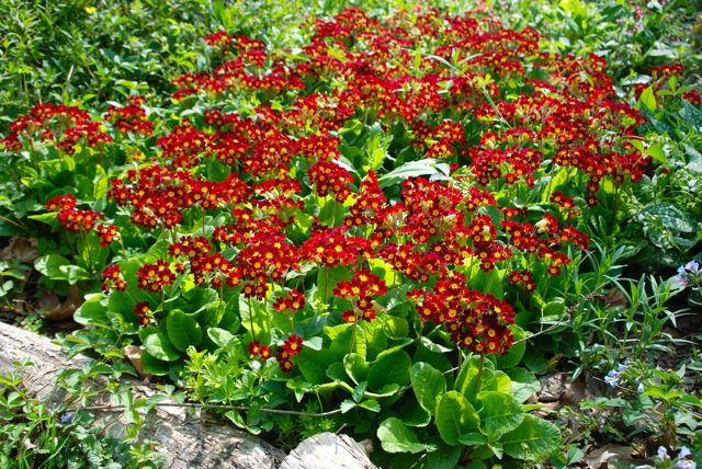 Here is a very large stand of red heritage primrose, Primula x polyantha 'Old Brick Reds'.