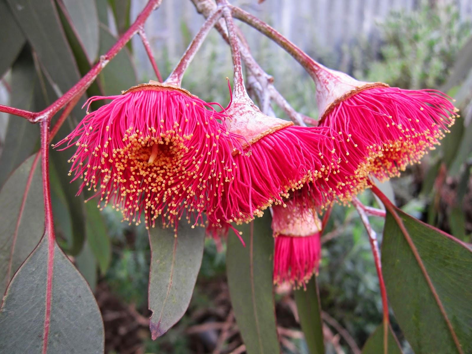 snugglepot cuddlepie flowers gumnut