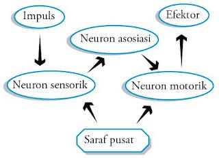 Proses penyampaian impuls panca indera saraf pusat efektor