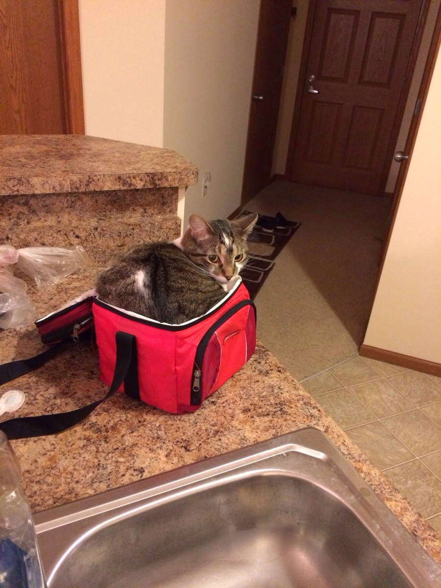 Funny cats - part 99 (40 pics + 10 gifs), cat pictures, cat sits on the bag