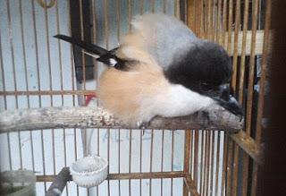 Anakan Burung Cendet