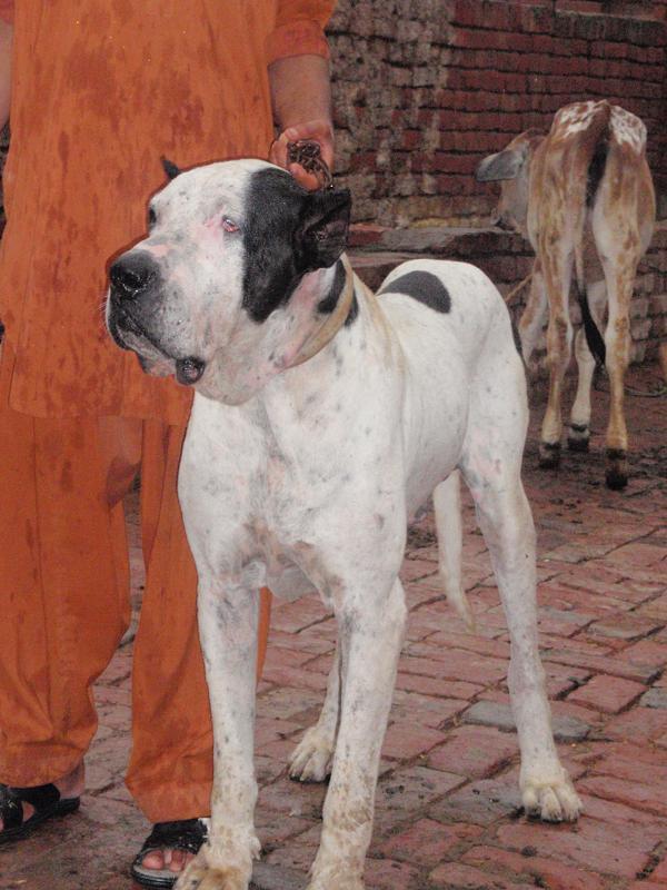 facebook share to pinterest labels bully kutta for sale uk bully kutta