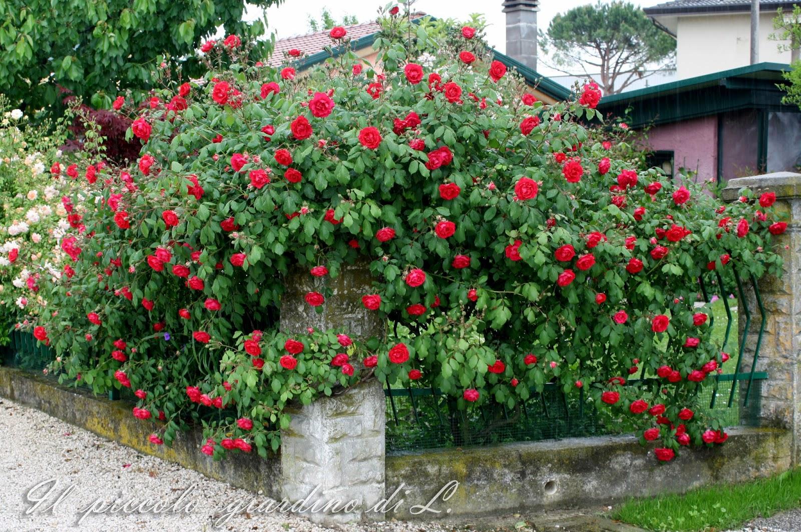 Il piccolo giardino di l una classica rosa rampicante for Aiuole profumate