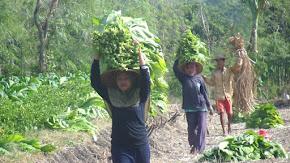 Petani Tembakau Lombok