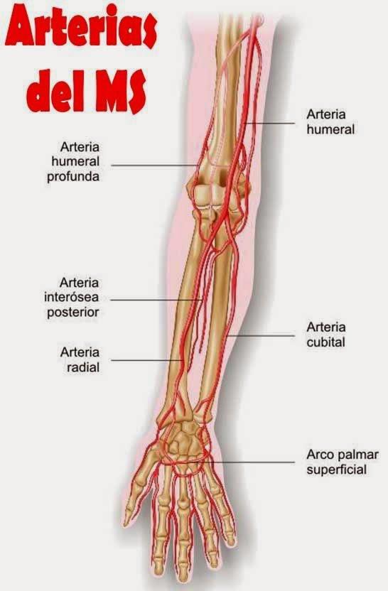 Arterias del Miembro Superior [Esquema] | .