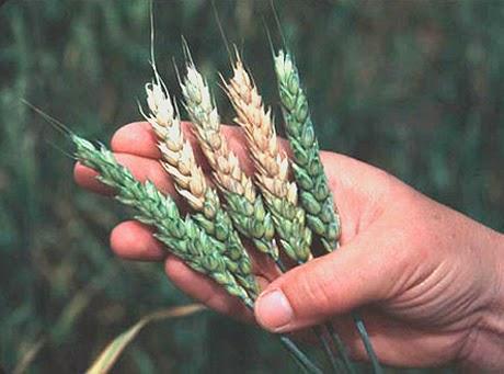 http://phys.org/news/2015-01-major-fungal-disease-durum-wheat.html