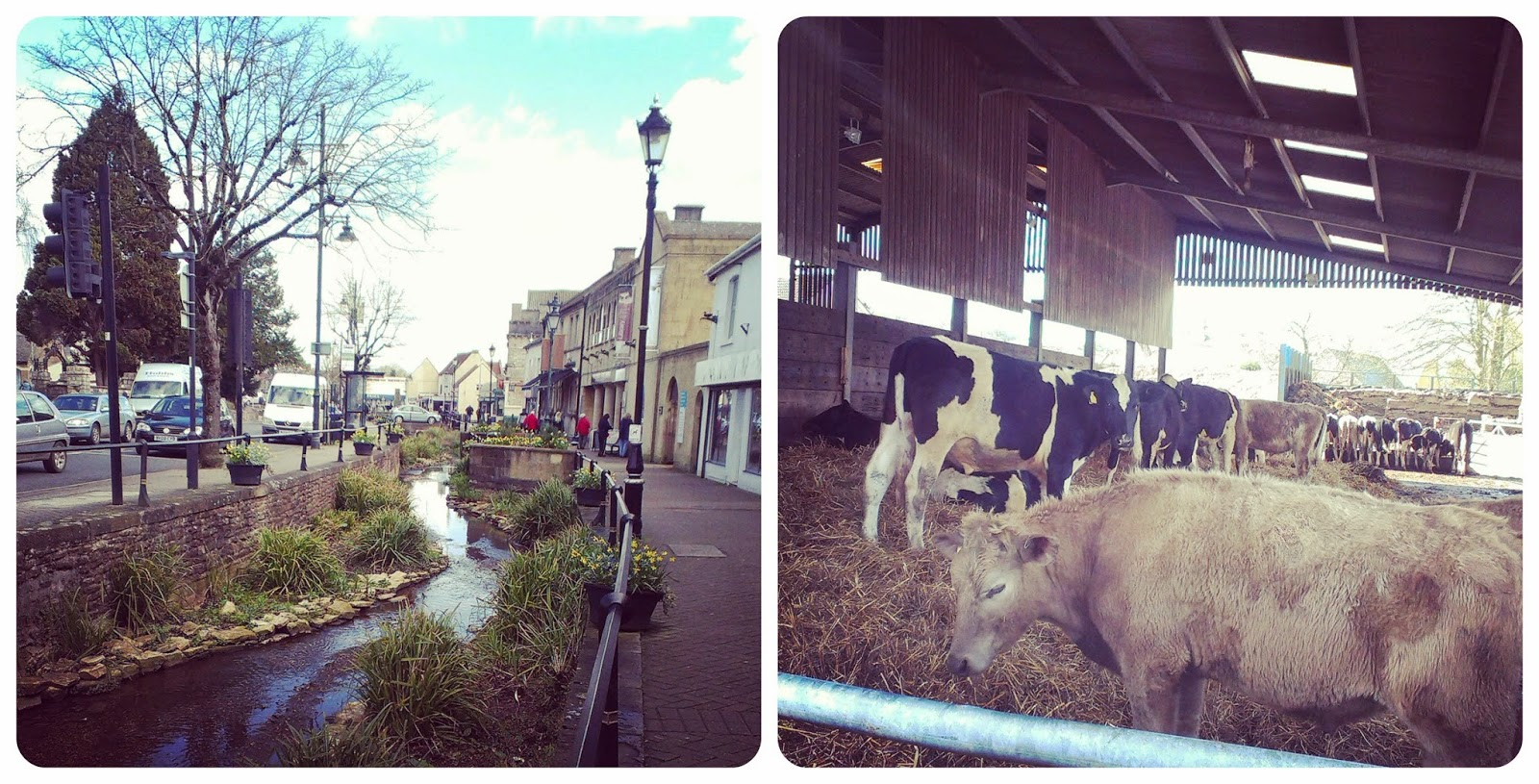 Midsomer Norton High Street and Farringtons Farm Shop Cows