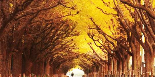 Terowongan pohon ginkgo, jepang