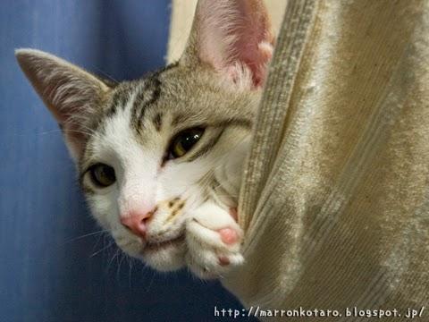 ハンモックから覗く子猫