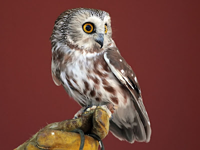 Nova the Northern Saw-whet Owl