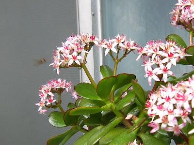 2013年4月上旬・・・カネノナルキの花と蜂