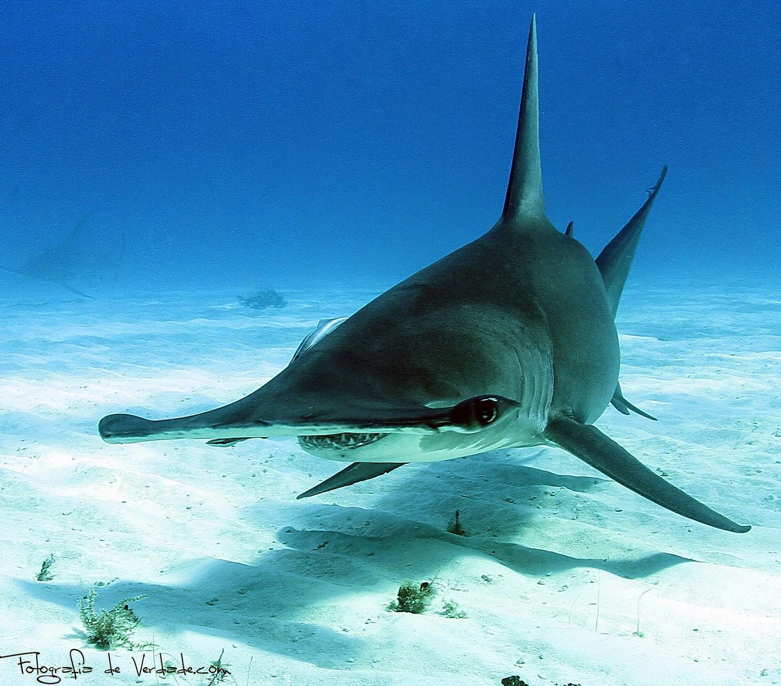 Bahamas com os Grandes Tubarões ( Continuação )