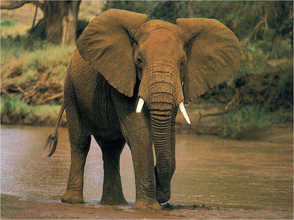 African elephant pictures