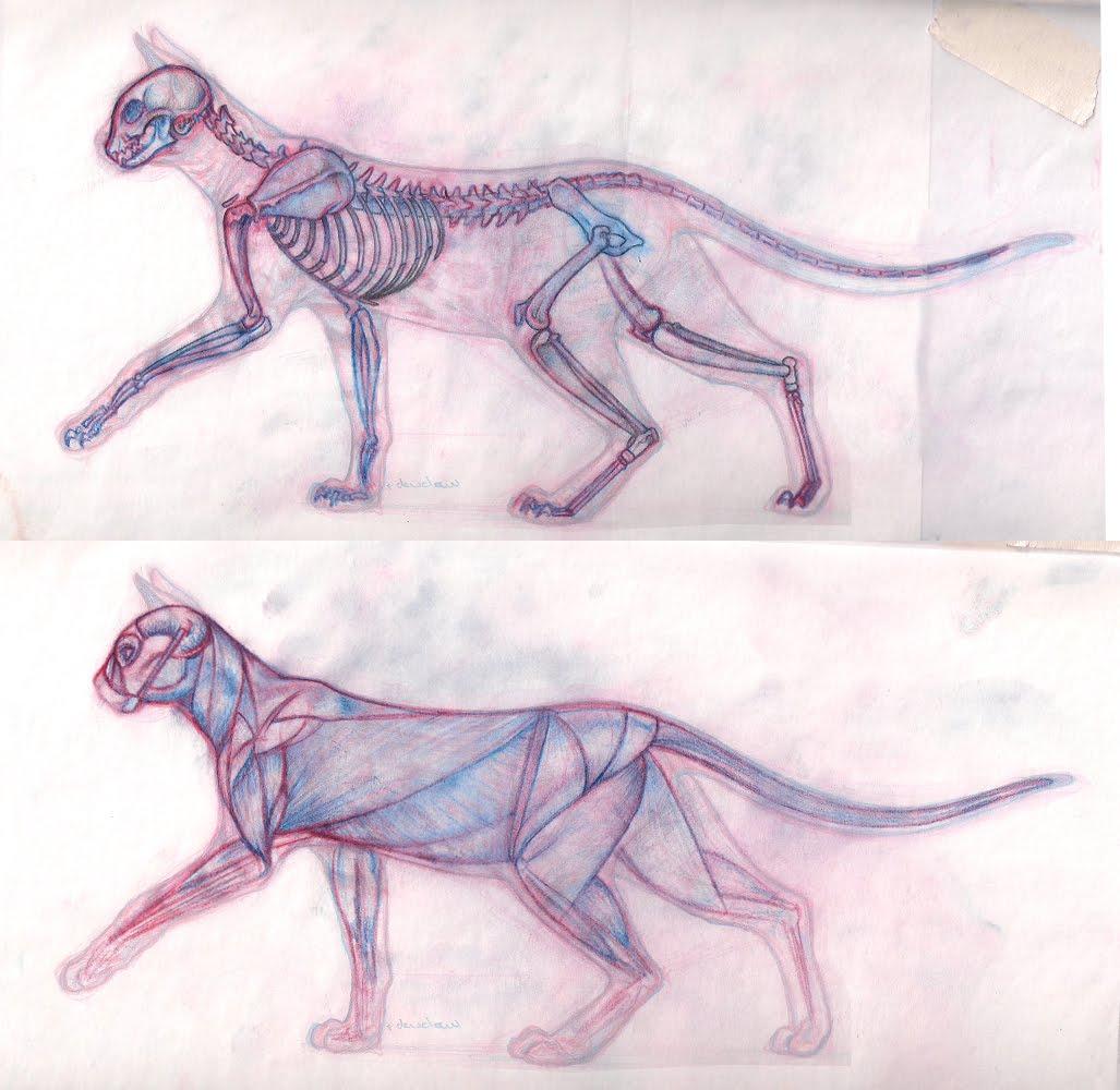 Raven\'s Scribbles: Cat Anatomy