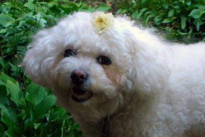 Sophie with chrysanthemum